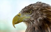 stock photo of bald head  - Bald Headed Eagle close up shot with blurred background