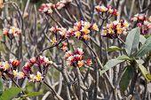 pic of plumeria flower  - Closeup Frangipani tropical flowers Plumeria flowers fresh - JPG