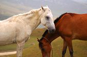 Two horses  - white and brown