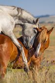 pic of mating animal  - Grey and red horse mating in the field - JPG