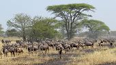Постер, плакат: Blue Wildebeests During The Great Migration
