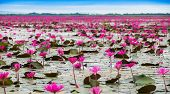 stock photo of marshes  - Sea of red lotus Marsh Red lotus Sea of red lotus Thailand - JPG