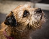 picture of border terrier  - A photograph of a Border Terrier dog