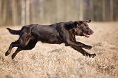 pic of coat  - chocolate flat coated retriever dog running outdoors - JPG