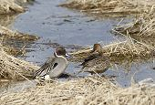 foto of pintail  - A male and female Northern Pintail near Hauser Lake Idaho.