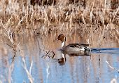 Pintail In A Marsh