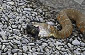 Close Up Of A Water Snake Ingesting A Fish