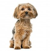 stock photo of yorkshire terrier  - Yorkshire terrier in front of a white background - JPG