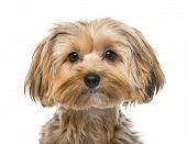 pic of yorkshire terrier  - Yorkshire terrier in front of a white background - JPG