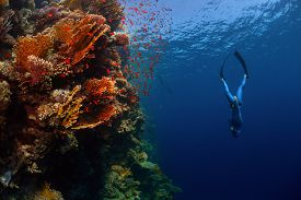 pic of bottomless  - Freediver descending along the vivid reef wall - JPG