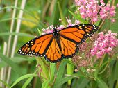 Monarch Butterfly -  2