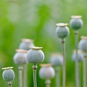 green poppy field close up