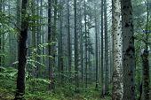 summer fir forest in morning time