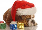 stock photo of scrooge  - english bulldog with christmas presents and scrooge expression - JPG