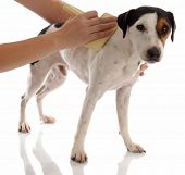 dog grooming - jack russel terrier being brushed