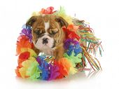 puppy dressed like a hula dancer - english bulldog - 7 weeks old