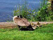 Mama Goose And Babies Napping
