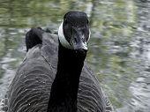 Mr Goose