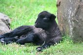 pic of suffolk sheep  - Black Suffolk lamb resting in a green meadow.