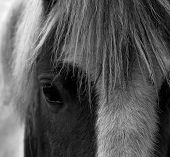 Eye Of A Shire Horse