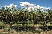 image of apple orchard  - apple orchard - JPG