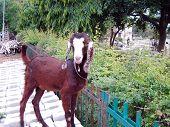 Goat - Capra Hircus