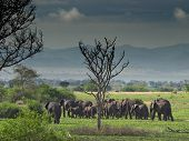Troop of elephants in african savanna
