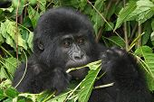 Eastern mountain gorilla baby in rainforest of Uganda