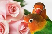 Lovebirds and pink roses