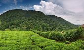 Tea plantation in Bwindi national park in Uganda