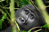 Female of eastern mountain gorilla in tropical forest of Uganda