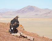Tame hunting golden eagle in mongolian desert