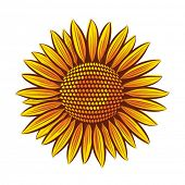 Eps10 Vector sunflower head isolated on white background