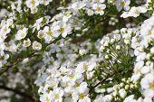 flor de noiva