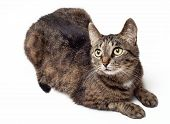 Tabby Cat Looking Up On A White Background. poster