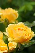image of yellow rose  - Yellow rose with water drops - JPG