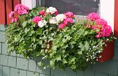 A wooden window box filled with pink and white geraniums, german ivy and vinca.