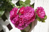 Old fashioned type Rugosa rose 'John Cabot' growing in the home garden on a wooden arbor.