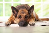 foto of german shepherd dogs  - German shepherd dog laying on the carpet in home - JPG