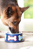 Dog German shepherd eating or drinking from bowl