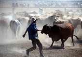 Ringer In Dust With Cattle