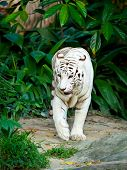 pic of white-tiger  - White tiger - JPG