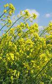 Campos de amarelo