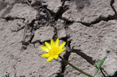 Yellow flower of a buttercup Ficaria verna on a barren cracked ground