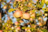 Organic Apple Crops Farm Or Garden. Autumn Apples Harvesting Season. Rich Harvest Concept. Apples Ye poster