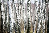 Birch forest at cloudy day