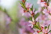 Makro von Blumen der Mandelbaum. Shallow DOF, Schwerpunkt Staubgefäßen.