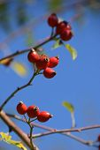 Rose Hip Also Called Rose Haw Fruits In Early October On Branches In Front Of Azure Sky, Detail Shot poster