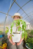 Middle aged woman in her hothouse with tomato plant in hands
