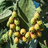 Opuntia fruit or prickly pear fruit in nature. Green pads covered with fruit. poster